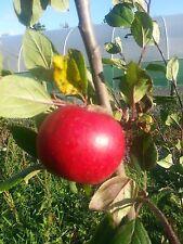 Katy Apple Tree  4-5ft in 5L Pot Ready to fruit. Sweet,Juicy Strawberry Taste