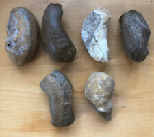 Fossilized Whale Ear Bones 3 Inch Lot Of 6 South Eastern Usa 2 Lbs
