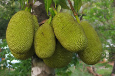 JACKFRUIT 4 in by 13 in pot 3 1/2 to 4 ft organically grown (HOMESTEAD GIANT)
