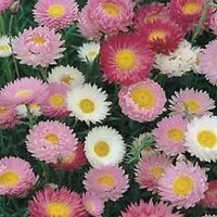 Paper Daisy- Mix- 50 Seeds