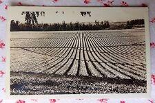 Vintage Unused Rppc Real Photo Postcard Pineapple Fields near Honolulu, Hawaii