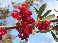 15 Silver Buffaloberry (Shepherdia argentea) seeds  Tree seeds CombSH