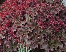 30+ MELTING FIRE HEUCHERA GROUND COVER SEEDS / DEER RESISTANT PERENNIAL