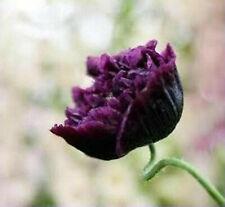Black Peony Poppy Beautiful Flowers - 25 Seeds- Indescribably Purple Elegant