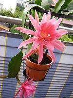 Epiphyllum MONIQUE Blattkaktus Kaktus Kakteen Hybride Epikakteen Jungpflanze