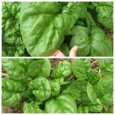 Seeds Spinach Winter Summer Matador Giant Water Vegetable Organic Heirloom