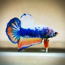 "Live Betta Fish - Male - HMPK ""Orange Blue Fancy"" (SSM68)(High-Grade)"