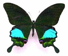ONE REAL BUTTERFLY BLUE GREEN PAPILIO PARIS PAPERED UNMOUNTED WINGS CLOSED