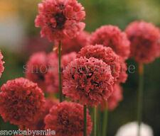 25 Armeria Maritima Seeds Sea Thrift Pink Splendens Joysticks Flower Perennial