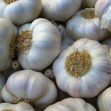 Garlic 30 Cloves-Seeds 'Bella Italiano' Hardy Bulb (PLANTING NOW)From 3 Bulbs
