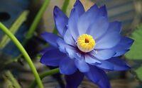 Liveseeds - Bonsai Lotus/ Bowl Pond Lotus/Water lily flower/ 5 Fresh Blue Lotus
