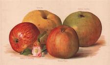 APPLES. Ecklinville Bramley's Seedling Cuchess of Oldenburg Ribstone Pippin 1892