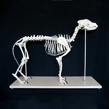 Anatomical Large Dog/Canine Skeleton Model - Medical Veterinary Anatomy