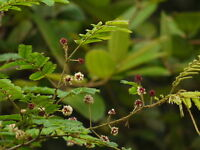 200 Samen Acacia concinna