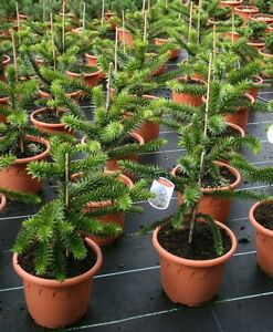 Andentanne Araucaria araucana Chil Schmucktanne 25 - 30 cm