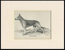 GERMAN SHEPHERD OLD ANTIQUE 1912 DOG PRINT by ARTHUR WARDLE READY MOUNTED