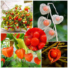 100 Physalis Flower Seeds Mixed Red Lantern Decorative Fruit Plant Home Garden