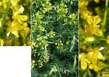 Flixweed, Descurainia sophia 100 seeds