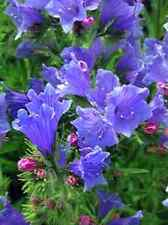 50+ Blue Echium Flower Seeds / Reseeding Annual