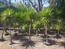 MEGA YUCCA PLANT SALE!  1m - 1.5m green, modern and mature Yucca plants.