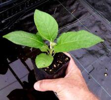 SOLANUM TORVUM vaso 7x7x10 cm 1 Pianta del albero delle melanzane