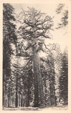 YOSEMITE CALIFORNIA GRIZZLY GIANT~REAL PHOTO POSTCARD 1920-30s