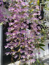 Dendrobium aphyllum Species Orchids
