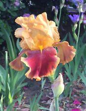 2 / 'Tiger Butter' Tall Bearded Iris