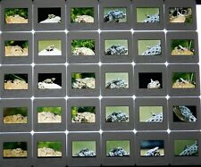Lizards Color Slides Lot Of 30 Arizona Desert Tree Spiney Horned Lots Of Lizards