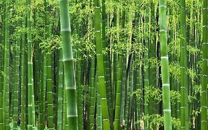 100 Seed SEMI MOSO GIGANTE Phyllostachis pubescens Moso seed Plant GIANT wacom