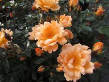 BRIDGE OF SIGHS - 5.5lt Potted Climbing Garden Rose - Orange, Fragrant
