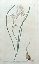 GLADIOLUS EDULIS CORNFLAG  Edwards Antique Botanical Engraved Vintage Print 1817