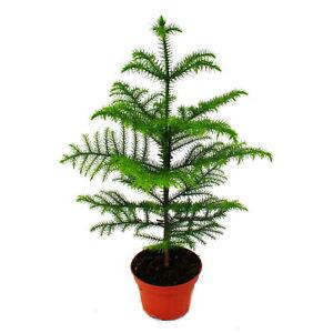 inkl Kunstpflanze Zimmertanne Höhe ca 100 cm Farbe grün Araucarie Topf