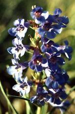 Penstemon angustifolius - Narrow Leaf Beardtongue - 250 Fresh Seeds
