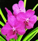 VANDA (ASCOCENDA) PRINCESS MIKASA 'PINK', ORCHID PLANT SHIPPED IN 1 1/2
