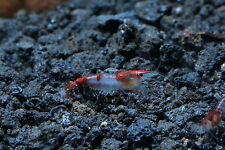 10 Red Rili Live Aquarium Shrimp Neocaridina
