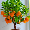 20 PCS Seeds Edible Dwarf Orange Tree Garden Fruit Mandarin Bonsai Flores Citrus