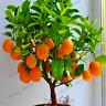 Edible Dwarf Orange Tree 20 PCS Seeds Garden Fruit Mandarin Bonsai Flores Citrus
