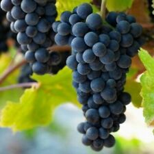 From July 2021 :::  3ft 'Pinot Noir' Grape Vine | 3L Pot | Seedless |