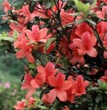 Rhododendron luteum Alpenrose Azalee Daviesii 25-30cm