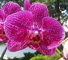 Phalaenopsis 'Harlequin Romance' Large Plant In Bloom And Bud!