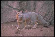 109030 Gray Fox A4 Foto Impresión