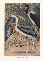 C1914 Natural History Estampado ~ Marabú & Jabiru ~ Lydekker