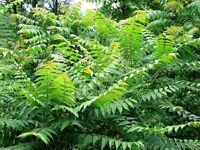 TREE OF HEAVEN -  A BEAUTIFUL RAPID GROWER! -  50 SEEDS