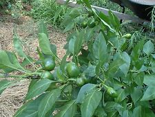South African sweet piquante pepper seed -  40 seeds