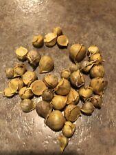 30 Elephant Garlic Korms Seeds