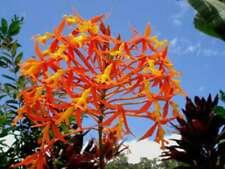 Epidendrum macrocarpum species Orchid Plant