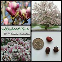 5 SAUCER MAGNOLIA SEEDS (Magnolia x soulangeana) Pink/Purple & White Flower