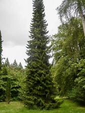 Serbian Spruce, Picea Omorika, Christmas Tree, Conifer grown peat free in 3L pot