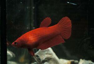 Live Betta Fish Super Red Single Color Female Full Of Eggs